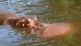 Hippo in chiangmai Thailand - 207915365
