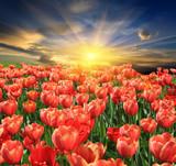 tupils flower meadow - 207915780