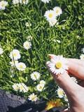 Female hand holding chamomile
