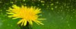 Yellow dandelion closeup.