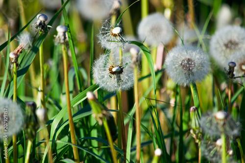 Canvas Paardenbloemen White dandelion seed is in the grass