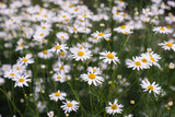 Flowering. Blurred background image of Flowering chamomile. Blooming chamomile field, flowers on a meadow in summer, Selective focus