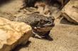 Lazy amphibia