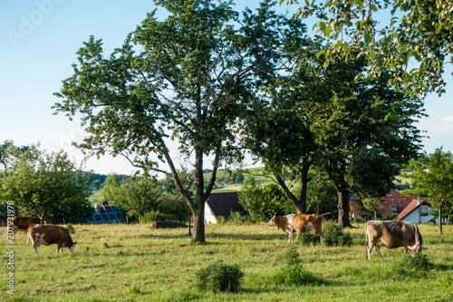 Kühe am Ortsrand