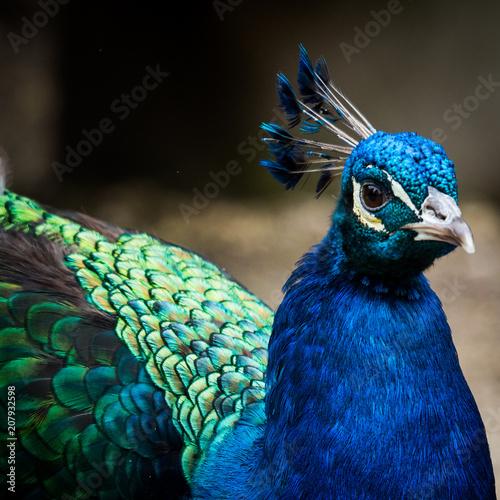 Aluminium Pauw Peacock close-up