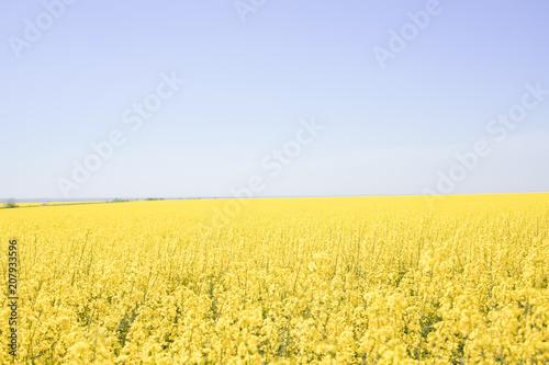 Plexiglas Geel yellow-blue field of flowering rape