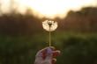 White dandelion in woman's hand