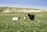 goats graze on a beautiful field, pasture - 207934114