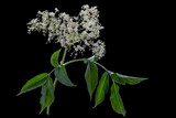 elderflower on dark background - alternative medicine - 207937168