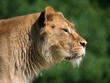 Lion - 207937367