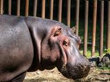 Hippopotame  - 207938722