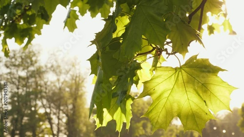 Mable tree leaf with sunlight