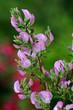 Leinwanddruck Bild - Dornige Hauhechel, Ononis spinosa
