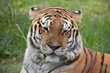Portrait of a beautiful Sibirian Tiger in South Africa