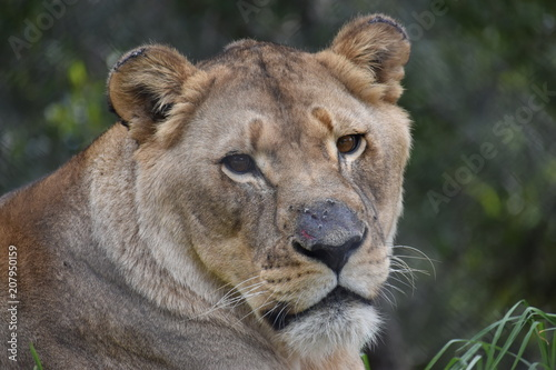 Canvas Lion Beautiful portrait of a big female lion in South Africa