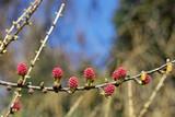 European larch (Larix decidua) - 207951306