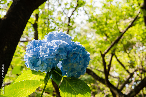 Fotobehang Hydrangea 青いアジサイ(千葉県・鎌ヶ谷市)