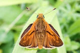 Close-up of male Large Skipper Butterfly - 207957130