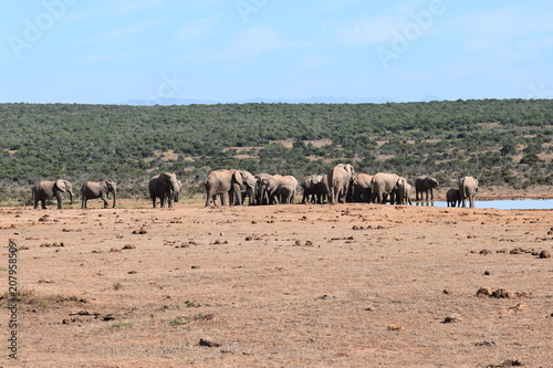 Canvas Zalm A large herd of elephants at a waterhole drinking water on a sunny day in Addo Elephant Park in Colchester, South Africa