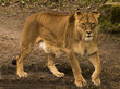 Restless lioness (Panthera) in wait