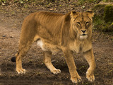 Restless lioness (Panthera) in wait - 207959179