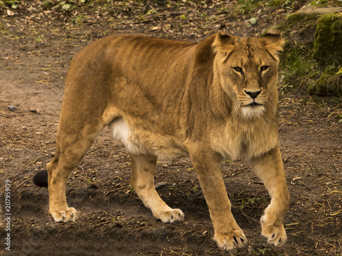 Canvas Lion Restless lioness (Panthera) in wait