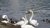 two close swans form a heart on a lake in the sun - 207961599
