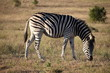 A beautiful zebra on a meadow in Addo Elephant Park in Colchester, South Africa
