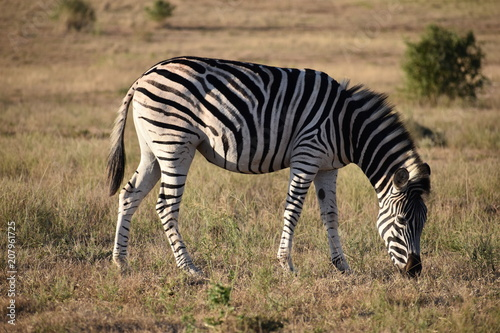 A beautiful zebra on a meadow in Addo Elephant Park in Colchester, South Africa - 207961725