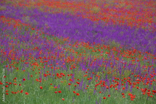 Canvas Snoeien Flower carpet of blossoming poppies and delphinium flowers