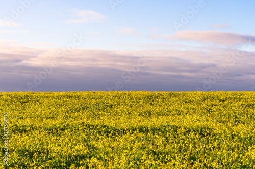 Canvas Blauwe hemel Wide field of yellow flowers populating half of the image with a purple looking sky.