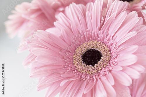 Fotobehang Gerbera Photograph of pale pink Gerbera Daisies on white