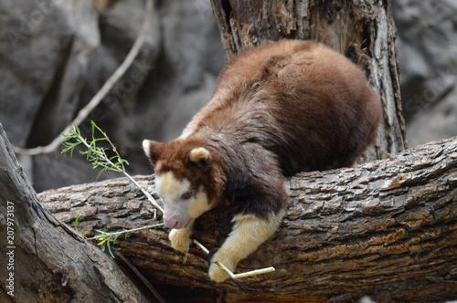 Foto Murales A tree kangaroo