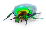 Green beetle on white.