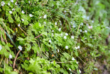 White flowers. Flowering green wild plants in the spring forest - 207987102