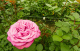 Close up of selective focus of pink rose flower in garden greenhouse, production in Ecuador - 207988728
