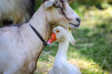 Goose and goat on a farm