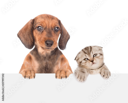 dachshund puppy and cute kitten peeking above empty white board. isolated on white background. Space for text