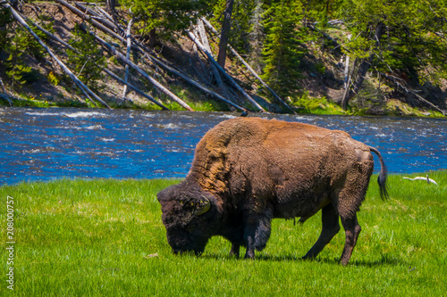 Fotobehang Bison Beautiful outoor view of lonely buffalo grazing alongside a western river in Yellowstone National Park