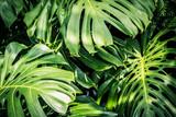 Beautiful green tropical leaves Monstera - 208003719