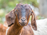 Portrait of a goat - 208012768