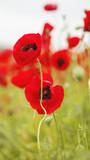 field of flowering red poppies - 208022753