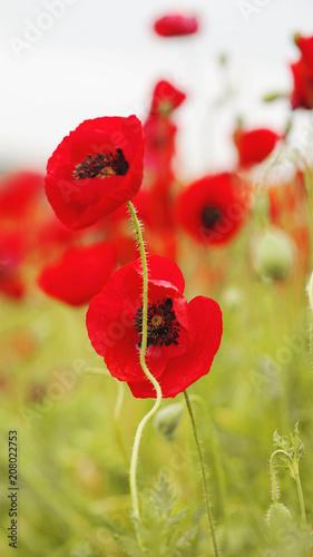 Aluminium Klaprozen field of flowering red poppies