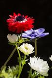 黒バックのアネモネの花花 - 208024769