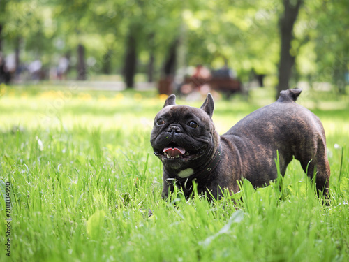 Fotobehang Franse bulldog Funny dog stretches in the grass for a walk