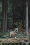 Wolf at Bayerisher Wald national park, Germany
