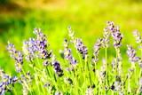 Lavendel im Garten - Sommerblumen - 208047114