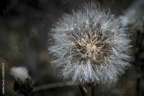 Canvas Paardenbloemen Dandelion seeds at early morning. anemophilous plant