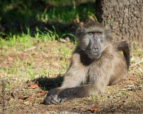 Fotobehang Aap A big male baboon relaxes on the grass
