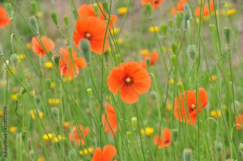 Mohnblumen, wildblühender, zarter, orangeroter Mohn mit gelben Blümchen gemischt auf einer grünen Blumenwiese
